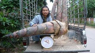 Khawb Ntsuag Xyooj Pos Loj Heev | biggest bamboo shoots