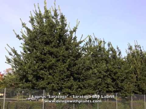 Laurus 'Saratoga' - Saratoga Bay Laurel