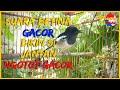 Kacer Betina Gacor Memancing Jantan Bagus Untuk Pemikat Terapi Jantan Agar Cepat Gacor  Mp3 - Mp4 Download
