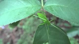 A Green Grasshopper (omocestus Viridulus)
