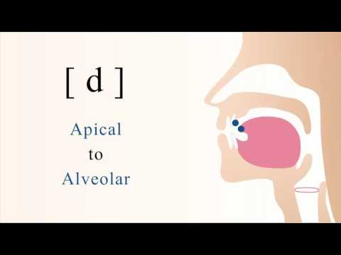 [ d ] voiced unaspirated apical alveolar stop