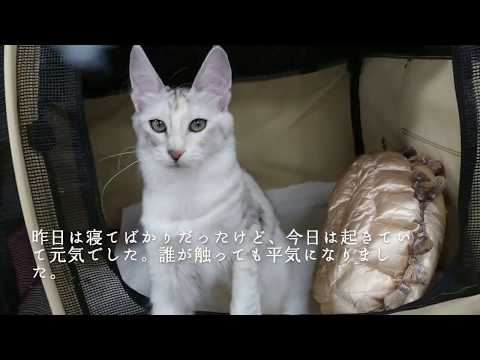 Marinday Melek Montserrat Silver Patched Mackerel Tabby Turkish Angora Female 5 months