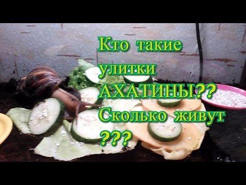 Кто такие улитки АХАТИНЫ??Сколько живут ахатины, их продолжительность жизни, питание и уход