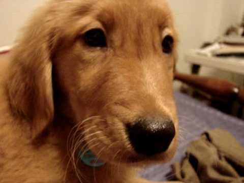 Golden retriever puppy hiccups
