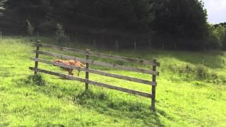 Dogue De Bordeaux Running In Goyt Valley