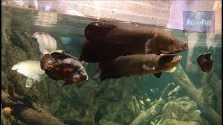 Variedad de peces ciclidos 2 - Variety of cyclid fish 2