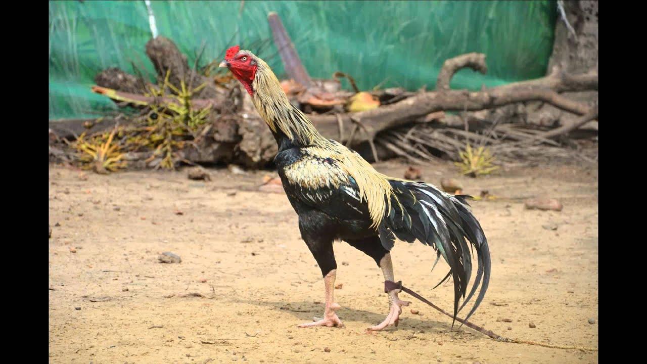 Andhra Aseels Doovi