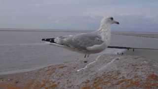 Möwenflug auf Borkum / Gull flying