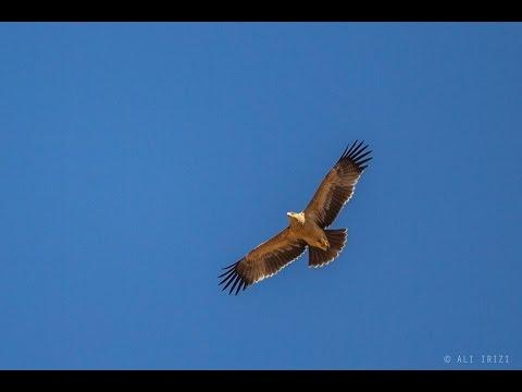 Spanish Imperial Eagle (Aquila adalberti) at Guelmim, Morocco