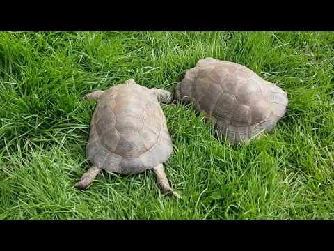 2020.47.Наши черепахи#Schildkröte#turtles#StayHome#