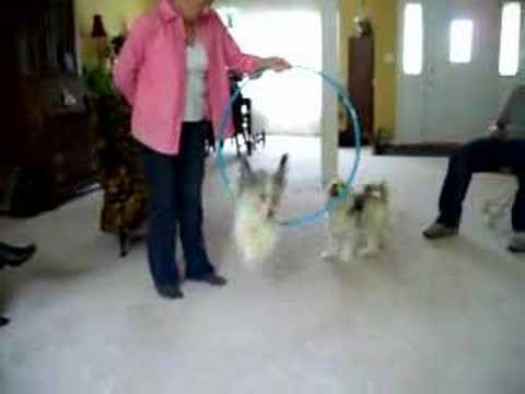 Chinese Crested Tricks