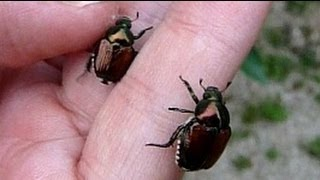 Japanese beetle. マメコガネ