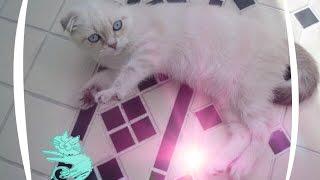 Смешной котенок играет с игрушками! Вислоухий котик!