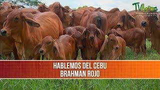Importancia  y Caracteristicas del Brahman Rojo - TvAgro por Juan Gonzalo Angel