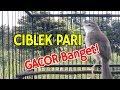 Ciblek Pari Gacor Di Sawah Plong Banget Durasi Panjang Untuk Isian Murai Batu  Mp3 - Mp4 Download