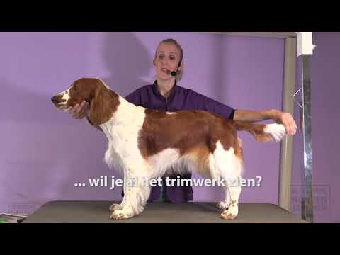 Welsh Springer spaniel trimmen