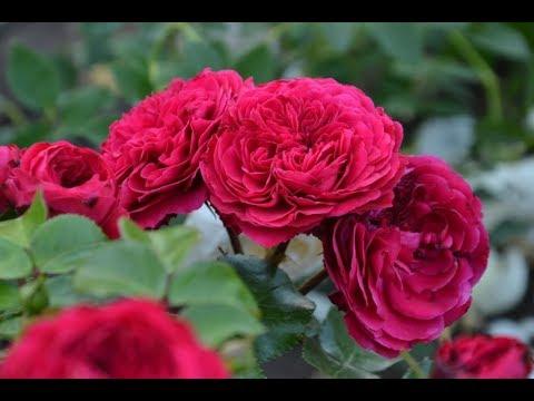 Видео обзор розы флорибунда Ред Леонардо да Винчи(Red Leonardo da Vinci )