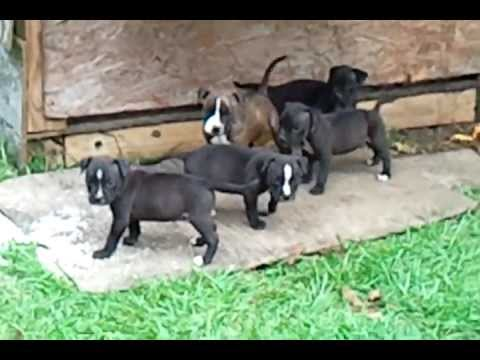 pitbulls puppies for sale