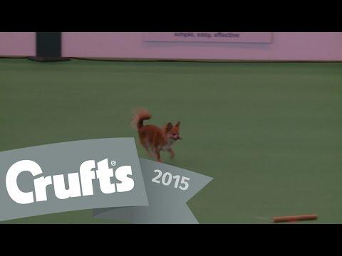 Obreedience - Part 5 - Chihuahua, Whippet & Australian Shepherd   Crufts 2015