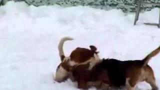 BassetHound 雪の中イチャつく姉妹のバセットハウンド アラン&ヴァレリ.