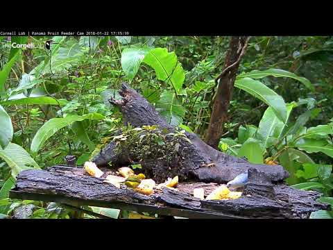 First Sighting Of a Silver-throated Tanager on the Panama Fruit Feeder Cam at Canopy Lodge 1/22/2018
