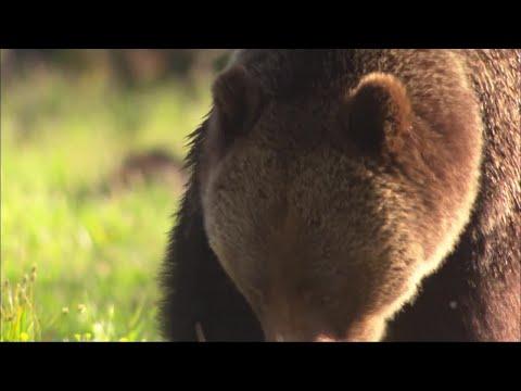 Judge blocks start of Wyoming grizzly bear hunt