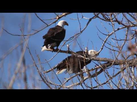 Bald Eagles in Colorado