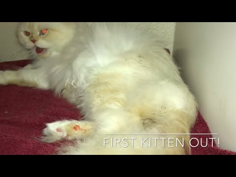 Cat Giving Birth to 5 kittens  Persian Cat signs your cat is in labor what to expect