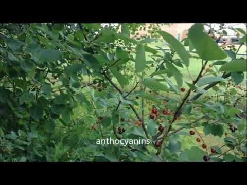 Choke Cherry Berries Commentary, Tips, XP, Random Info