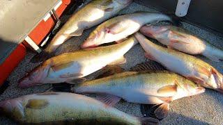 Крупный зимний судак с каждого заброса Вот это попали такой рыбалки давно не было