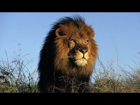 Вопрос: Какое животное нельзя встретить в Африке в дикой природе?