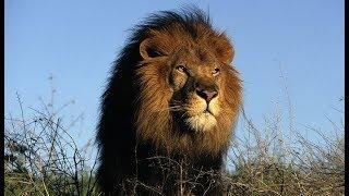 Самые опасные животные Южной Африки Сафари по Лимпопо Дикая природа чёрного континента сегодня