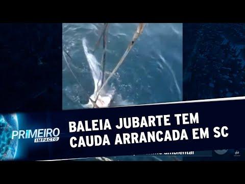 Baleia Jubarte Tem Cauda Cortada Por Embarcação Em Santa Catarina | Primeiro Impacto (26/05/20)