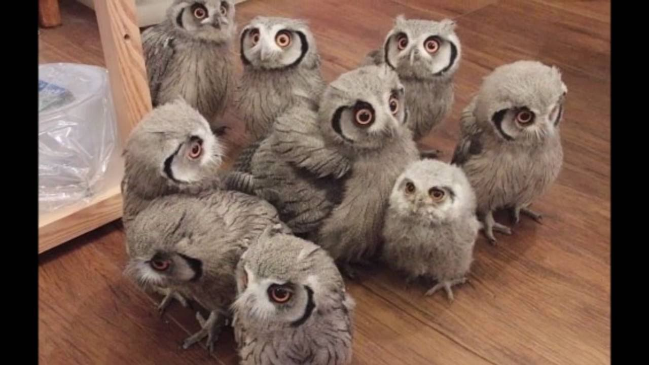 Really Cute Baby Owls