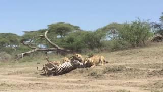 Lions killing a zebra