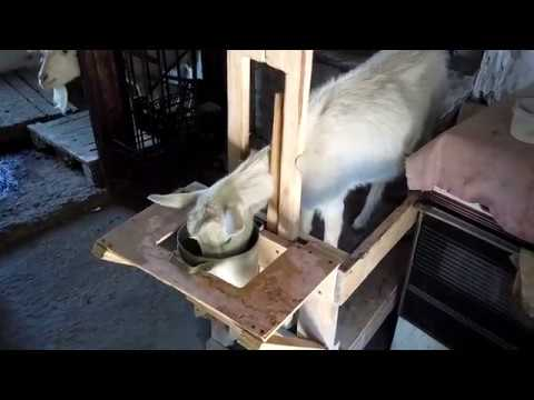 Делаем станок для дойки козы своими руками видео