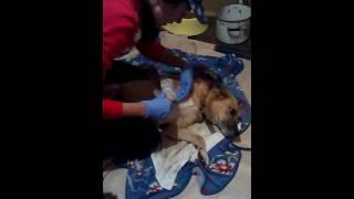 Обработка спиц у собаки