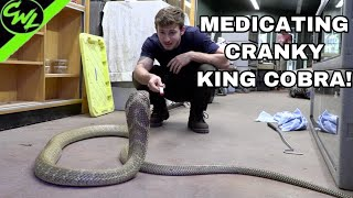 MEDICATING MY KING COBRA!