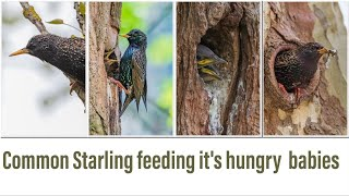 Common starling feeding it's hungry babies | Sturnus vulgaris | European starling| #starling #4k Please watch until the end of the video  all video, pictures and sounds rights to Kasireddy family life. camera: canon 6dMark 2 Common Starling 20-23 cm; 55-100 g. check my other bird videos Long tailed tit : https://youtu.be/EWr3nhdmWxk European robin : https://youtu.be/kI0s-ap7U4w Blue tail bee eater : https://youtu.be/vFZEv98hU0g Eurasian blue tit : https://youtu.be/Q-UEXWJpEzU Baya weaver : https://youtu.be/uXqL_fvg3Qw    #Sturnusvulgaris #Sturnidae  #Europeanstarling #commonstarling