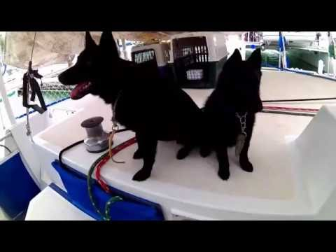 Sailing Schipperkes - Glimpses of Zonne & Zotke's first year