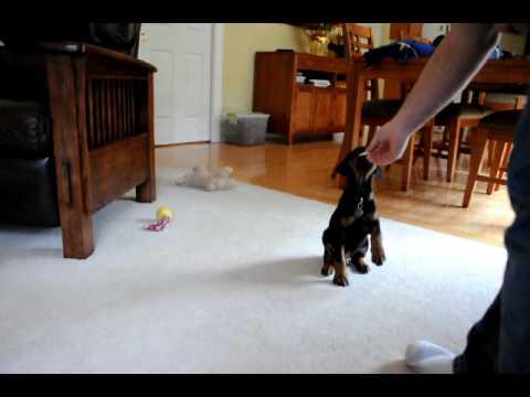 Smart 7 week old Doberman puppy