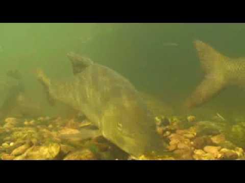 Barbel Fishing Days & Ways - Buried Pellets