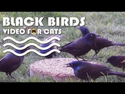 BIRDS VIDEO FOR CATS TO WATCH: Common Grackle and Red - Winged Blackbird.