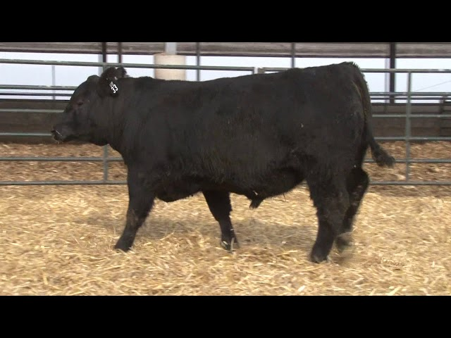 Schiefelbein Angus Farms Lot 33