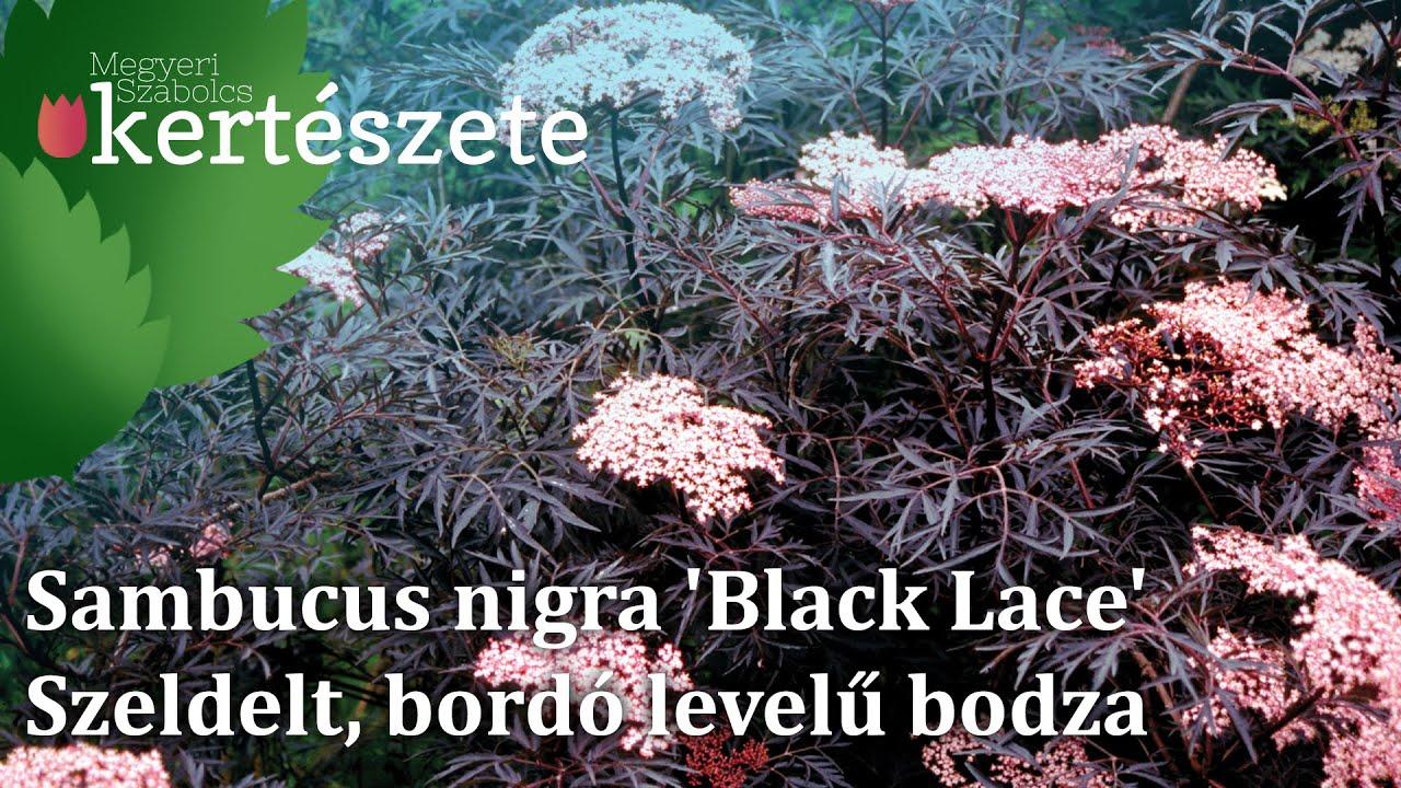 sambucus nigra 39 black lace 39 r zsasz n vir g szeldelt. Black Bedroom Furniture Sets. Home Design Ideas