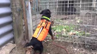 Jagd Terrier en action sur cochon