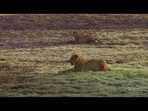 Tracking Lion Recovery in Gorongosa National Park | HHMI BioInteractive