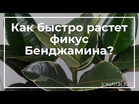Как быстро растет фикус Бенджамина? | toNature.Info
