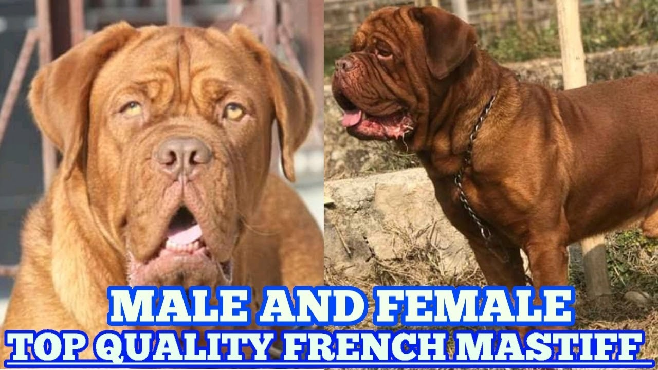 French Mastiff Male And Female Available For Sale Youtube