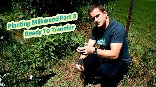 Planting Milkweed Part 3 - Ready To Transfer (Help The Monarch Butterfly)